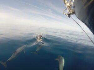 Delphine Atlantiküberquerung